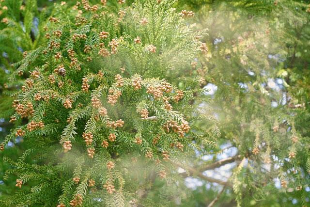 09.花粉の飛散量が夏の暑さに影響されるのは本当ですか?